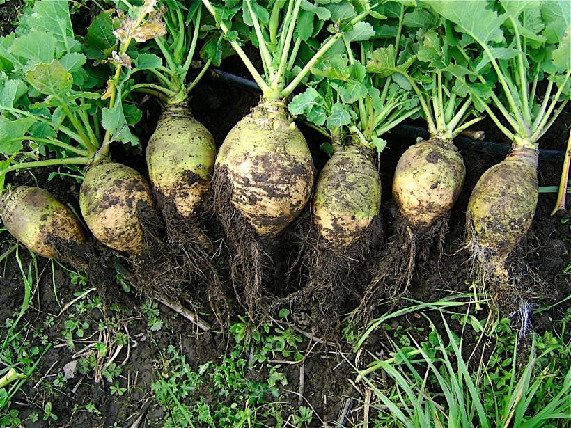 Турнепс: что это такое и разновидностью какого овоща является, а также уход за растением в открытом грунте, полезные свойства и противопоказания, фото кормовой репы