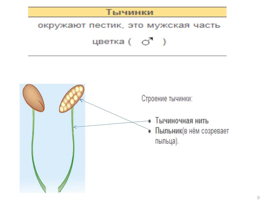 Что такое пестик и тычинка в биологии?