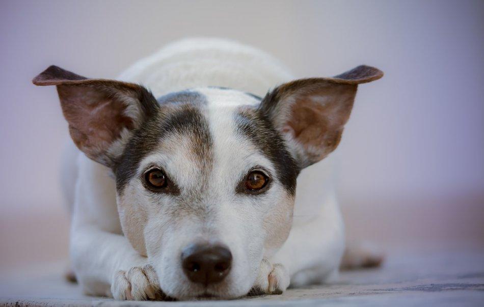 Течка у собак – особенности, сколько длится, когда начинается