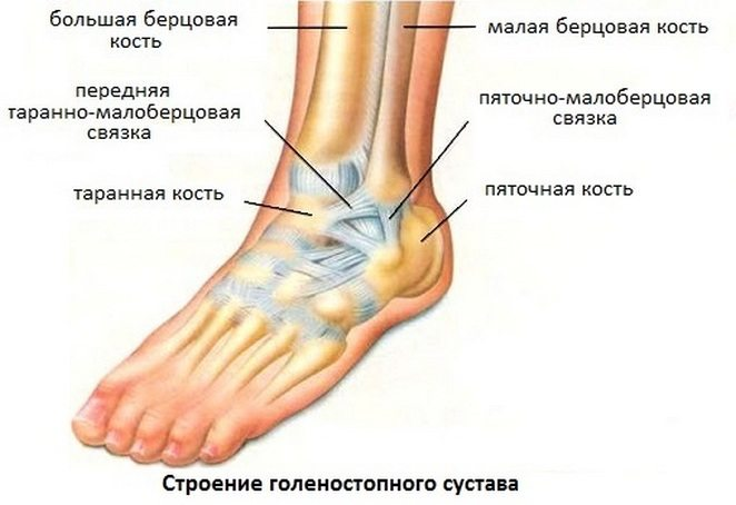 Лодыжка или щиколотка: где находится, как выглядит, назначение, анатомия, виды, связки, особенности, травмы