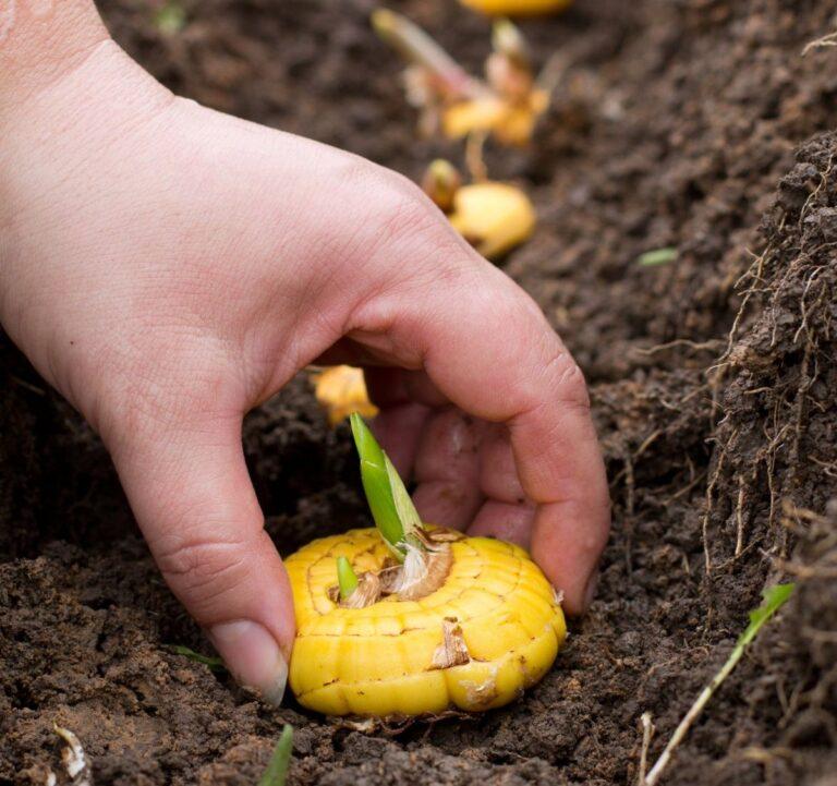 Гладиолусы: фото, описание сортов, особенности выращивания