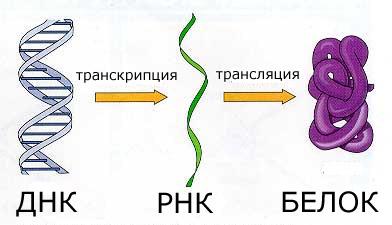 Транскрипция в биологии - это что такое? что такое транскрипция