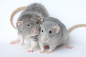 Прогрызая путь: как устроено крысиное общество ичем оно похоже начеловеческое   публикации   вокруг света