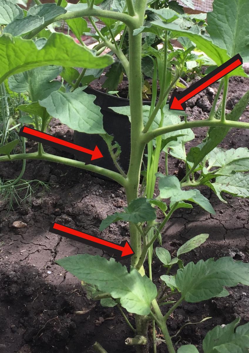 Обрезала пасынки на помидорах. как приготовить из них раствор? в каких случаях его применять? / асиенда.ру