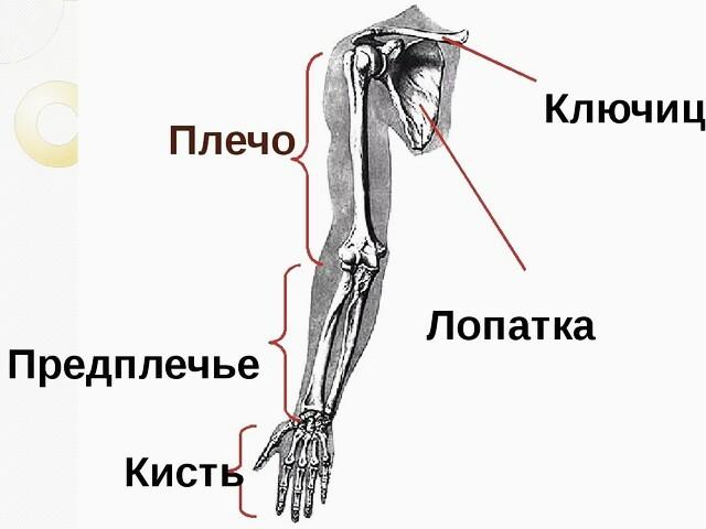 Где находится предплечье у человека? анатомия, строение