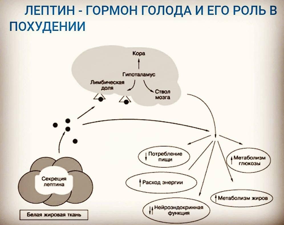 Лептин — википедия с видео // wiki 2