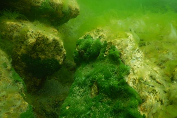 Побережье байкала почти на 60% покрыто водорослью спирогира. почему это опасно?