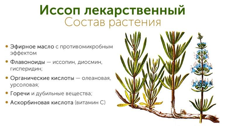 Иссоп лекарственный — красивый и полезный. лечебные свойства. выращивание. фото — ботаничка.ru
