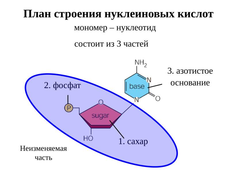 Нуклеиновые кислоты атф. строение и функции днк, рнк. репликация и репарация днк