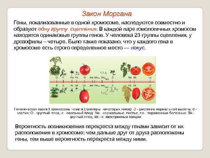 Митотический кроссинговер — википедия. что такое митотический кроссинговер