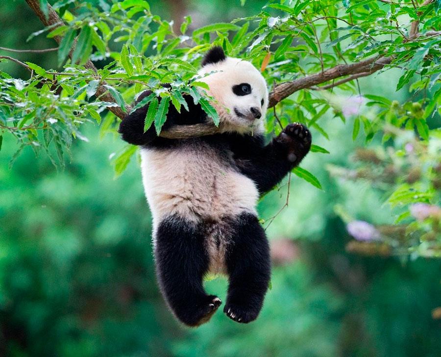Панда в китае символ чего это, панда символ какой страны и что символизирует панда, парк панд в китае