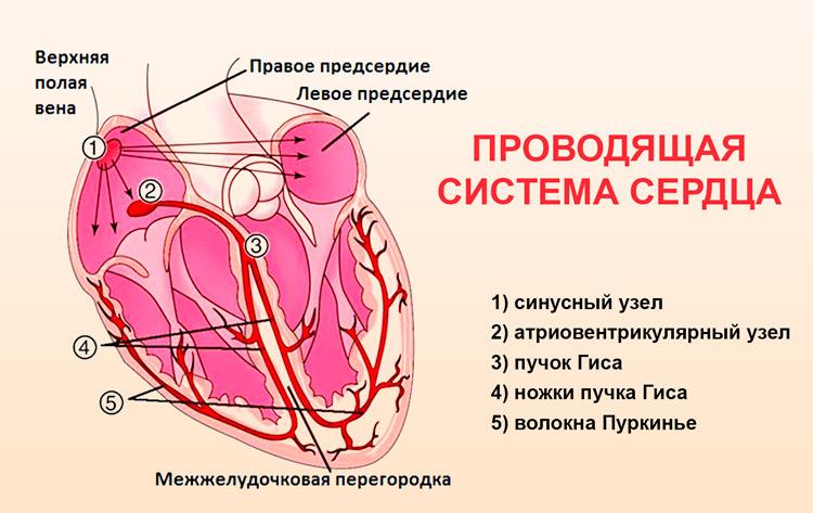 Брадикардия сердца что это такое лечение народными средствами