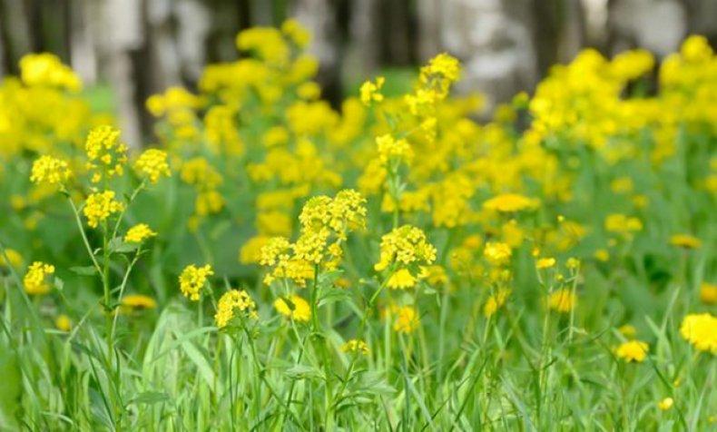 Сурепка: описание растения с фото, полезные свойства и противопоказания