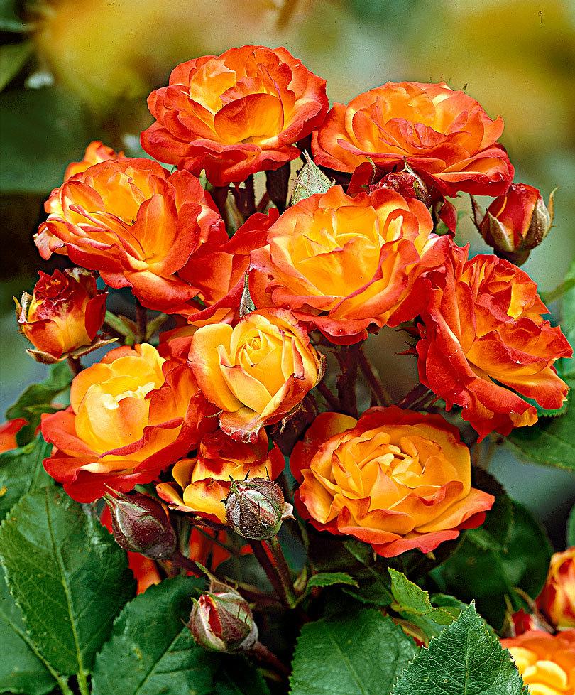 Описание и лучшие сорта розы спрей