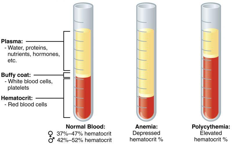 Что такое гематокрит в анализе крови и его нормы по возрасту