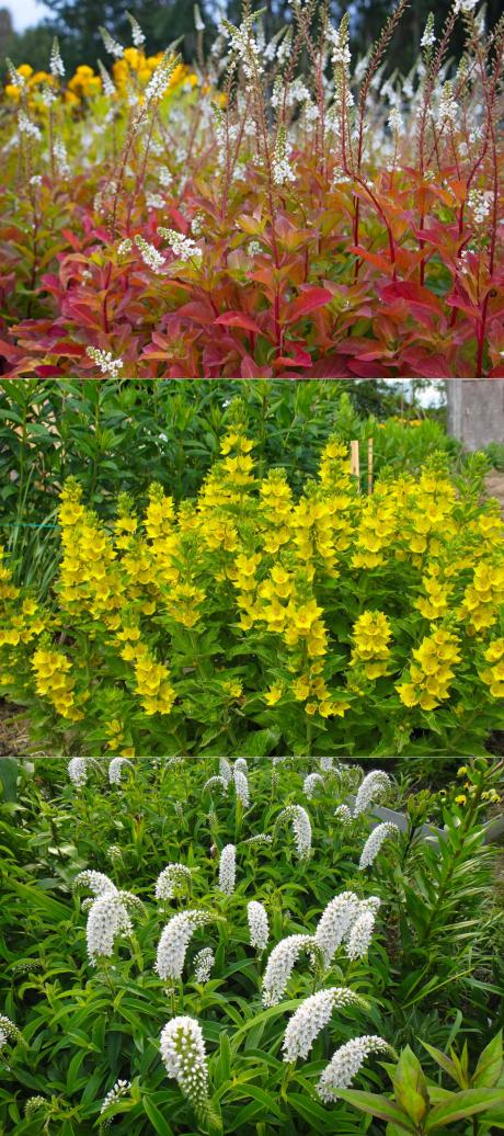 Дрок красильный (растение) – свойства и применение дрока. дрок желтый, испанский, цветы дрока