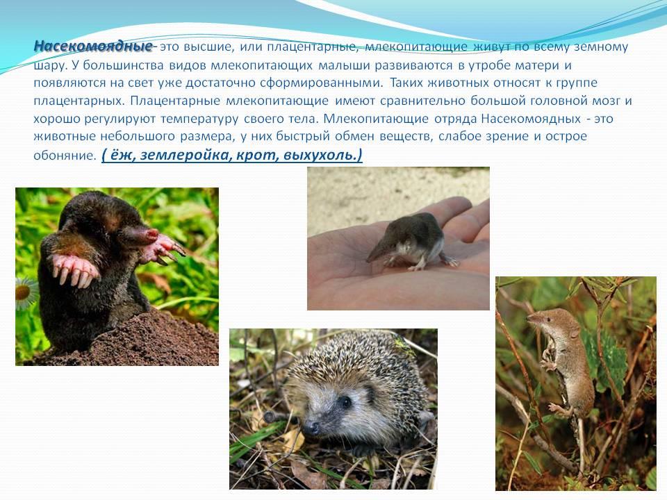 Подкласс яйцекладущие млекопитающие, отряд однопроходные, представители: ехидна, утконос