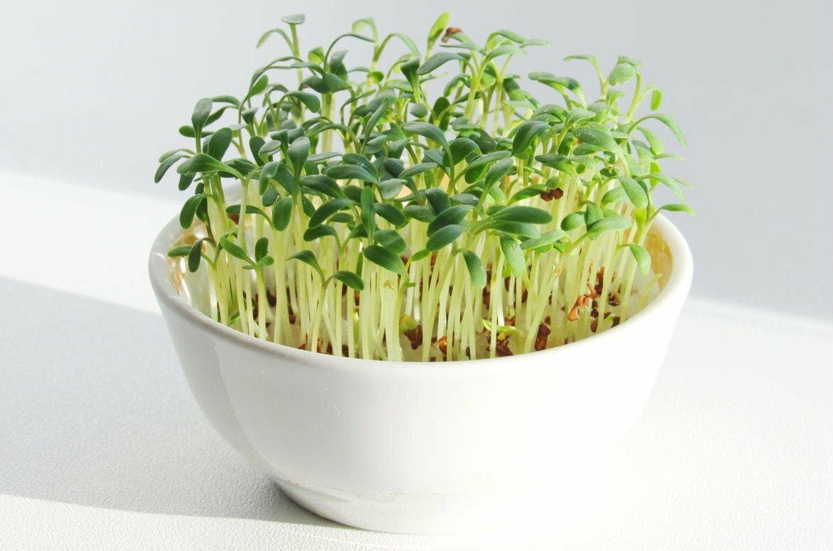 Крес-салат: его польза и вред, выращивание на подоконнике