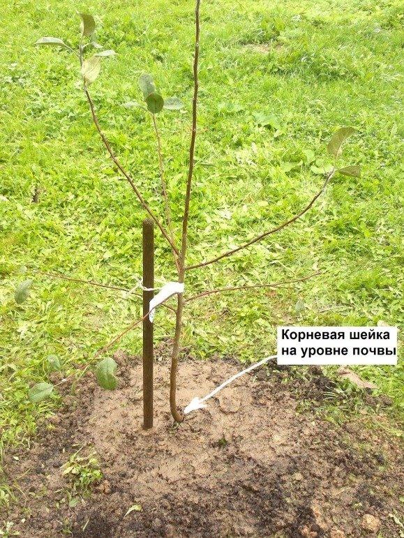 Корневая шейка плодовых растений | садоводство
