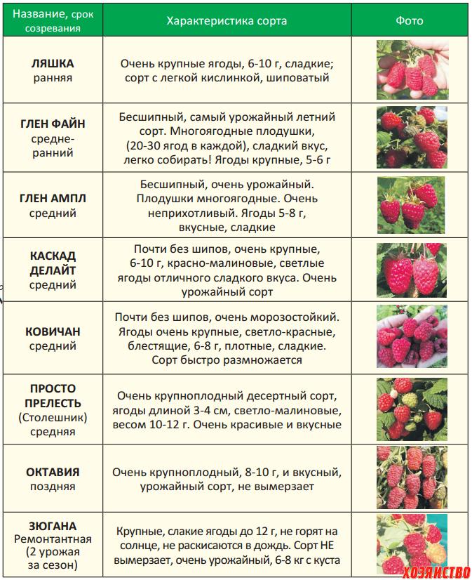 Топ-10 лучших сортов ремонтантной малины | в саду (огород.ru)