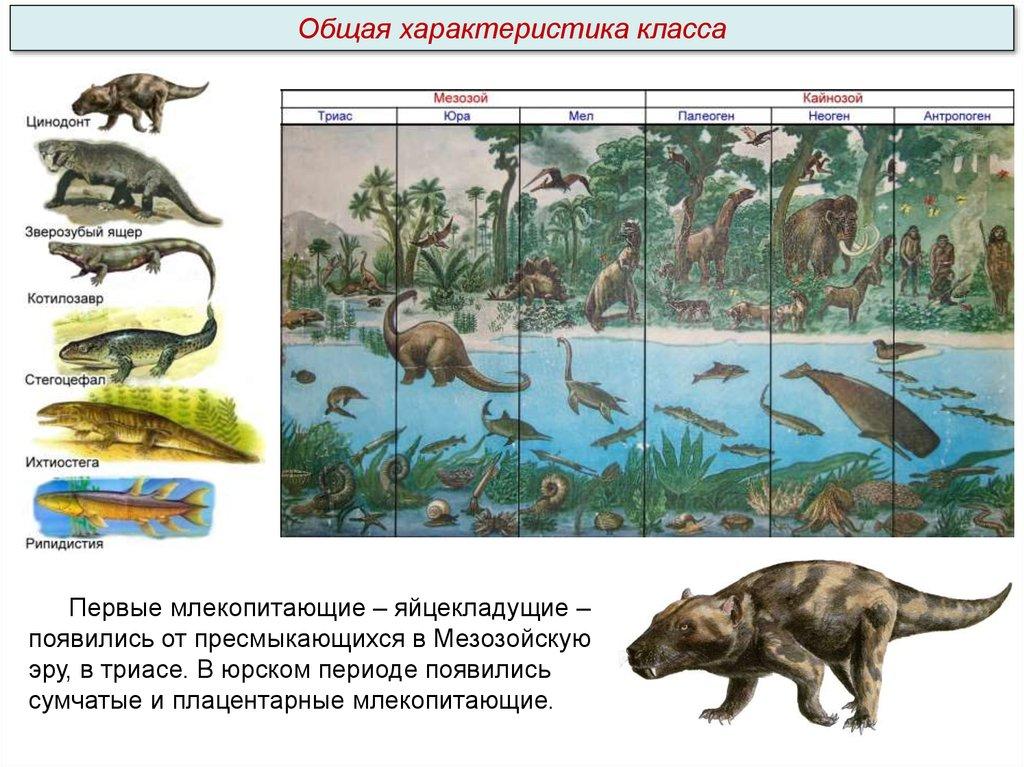 Плацентарные млекопитающие – особенности размножения животных - помощник для школьников спринт-олимпик.ру