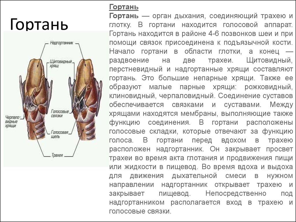 Гортань – строение, функции, возможные заболевания