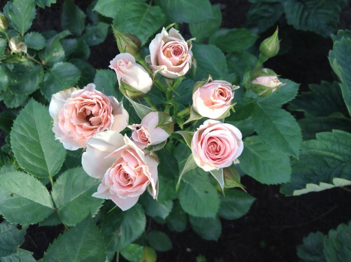 """Розы """"спрей"""": что это такое, описание сорта, фото"""