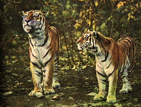 Тигр - вид хищных млекопитающих