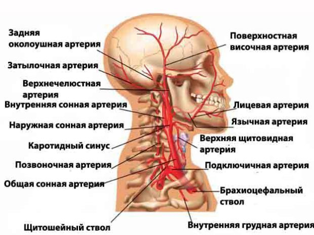 Узи брахиоцефальных артерий норма расшифровка