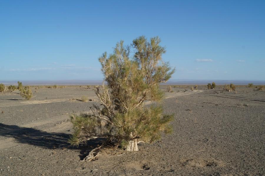 Саксаул растение пустыни краткое описание
