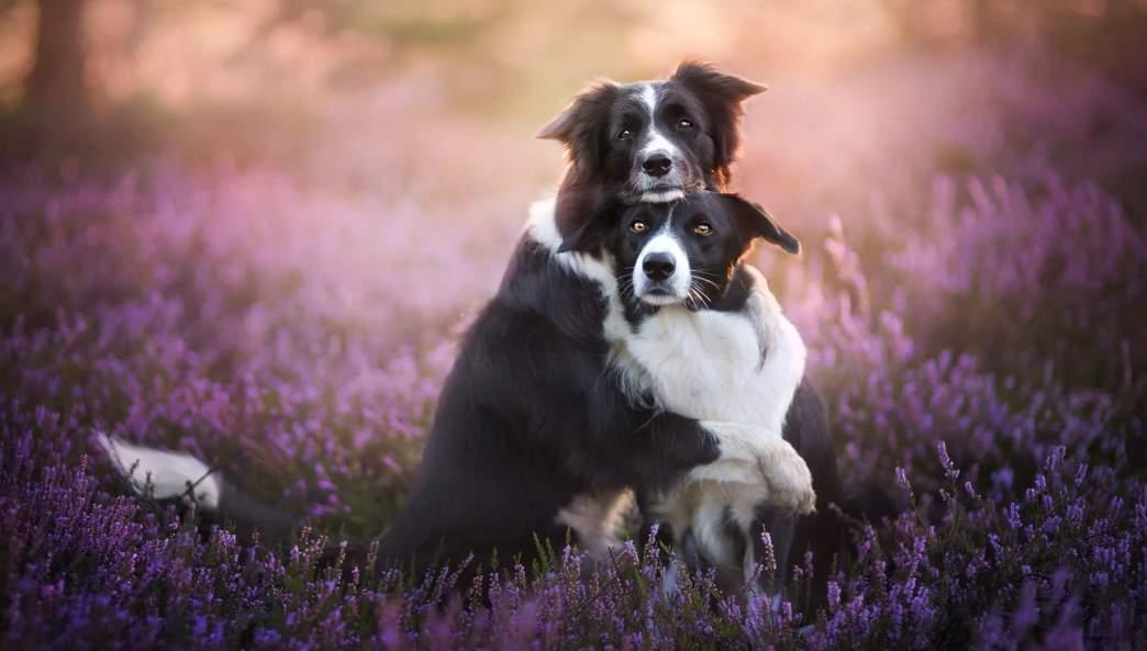 Все о спаривании собак: подходящее время для вязки и описание процесса случки