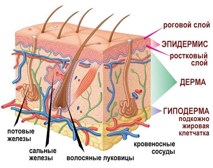 Эпидермис — википедия. что такое эпидермис