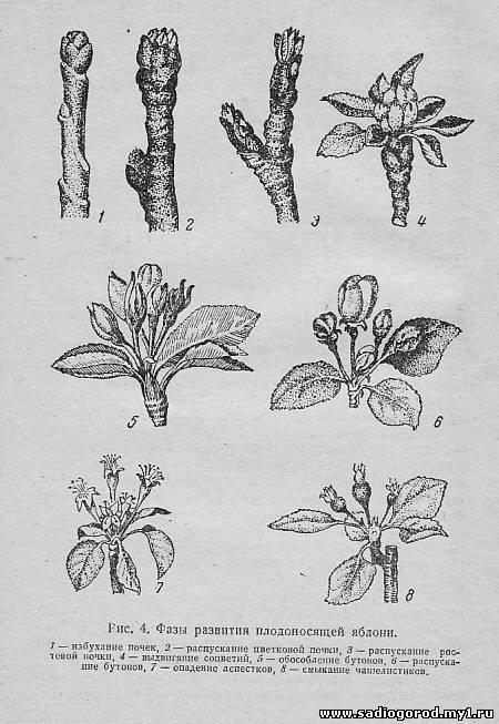 ✅ вегетативный период у растений что это. вегетационный период - живой-сад.рф
