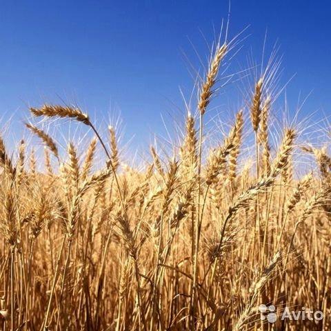 Что такое мягкая пшеница, чем она отличается от твердой и где используется