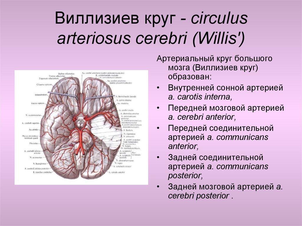 Виллизиев круг и его варианты развития. если виллизиев круг замкнут это хорошо?