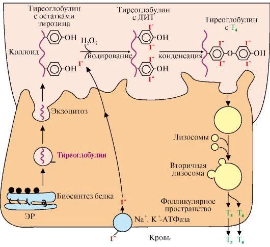 Антитела к тиреоглобулину повышены: что это значит