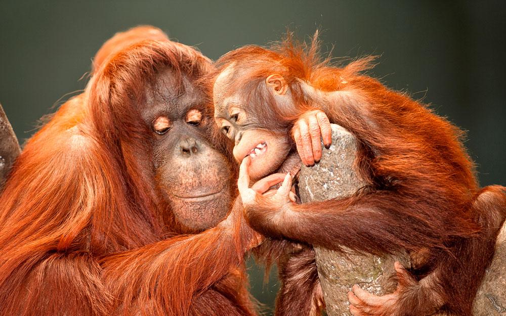 Совместимость обезьяна и обезьяна индентичность характеров если