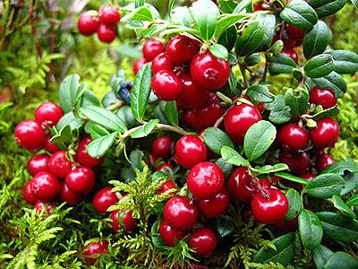 Клюква: полезные свойства и противопоказания красных ягод