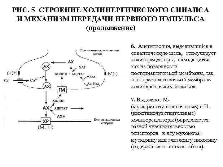 Ацетилхолин (нейротрансмиттер): функции и характеристики - yes, therapy helps!