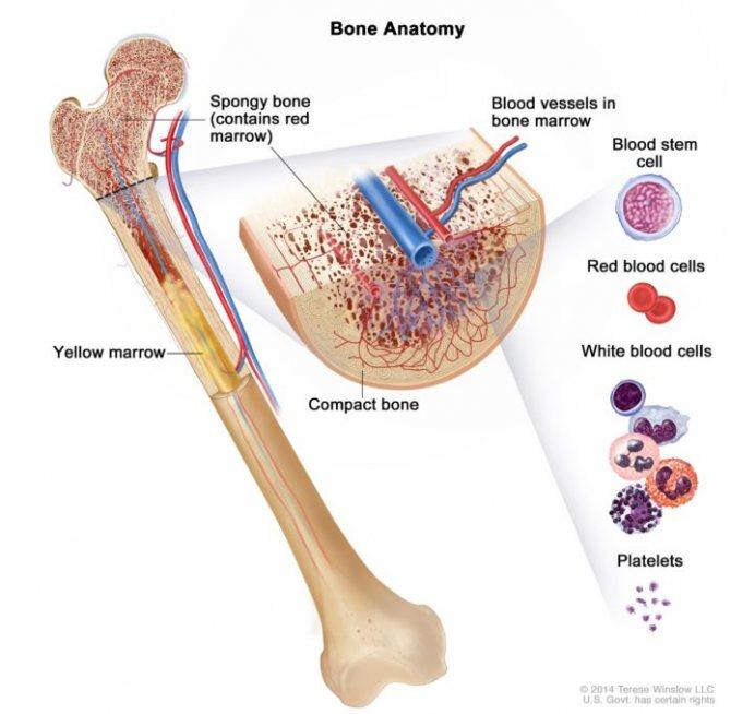 Повышенные лейкоциты в моче - что это и как лечить