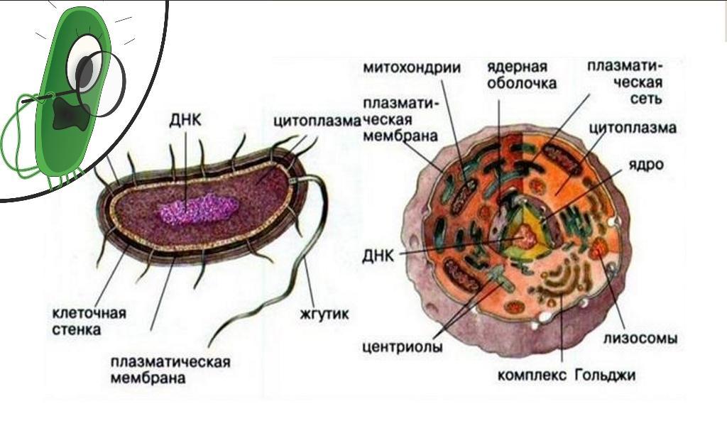 Эукариоты