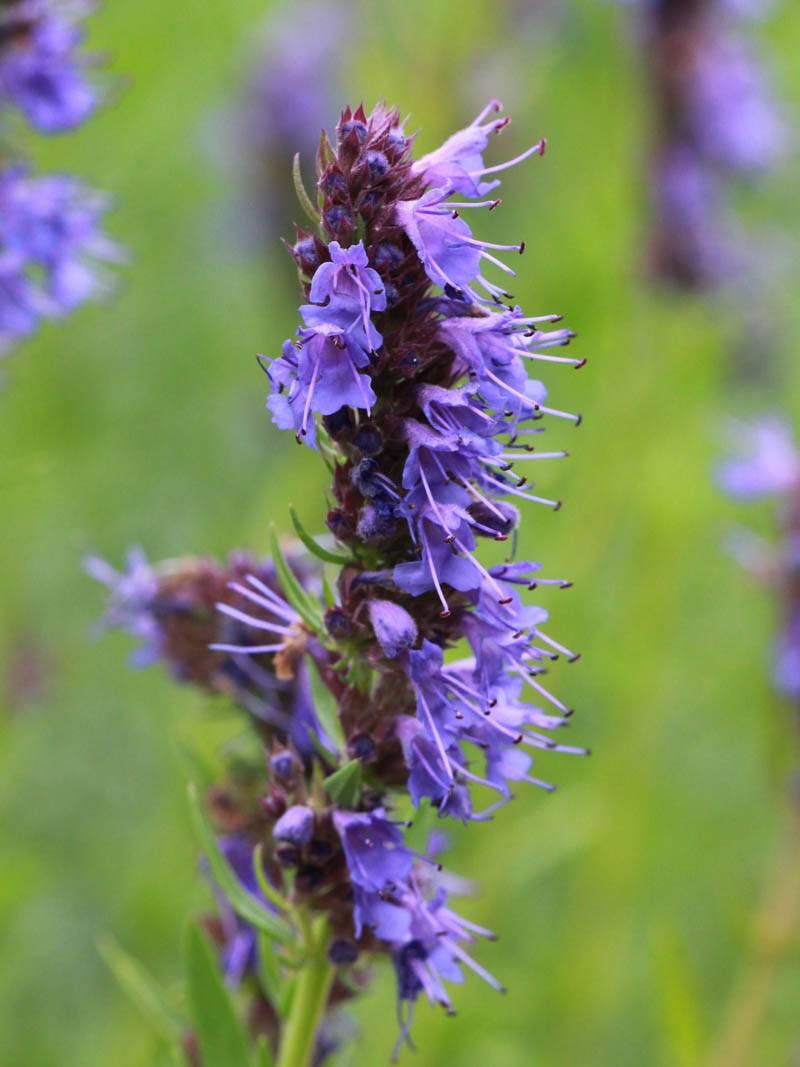 Иссоп: фото, выращивание, лечебные свойства и противопоказания