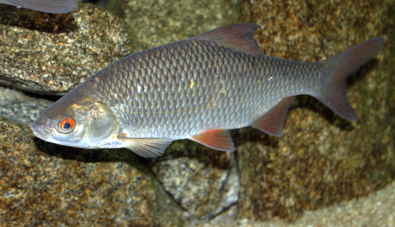 Плотва – разновидности и отличия от других рыб, приготовление и польза на ydoo.info
