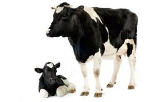 Что такое коровье молозиво, его особенности и полезные свойства