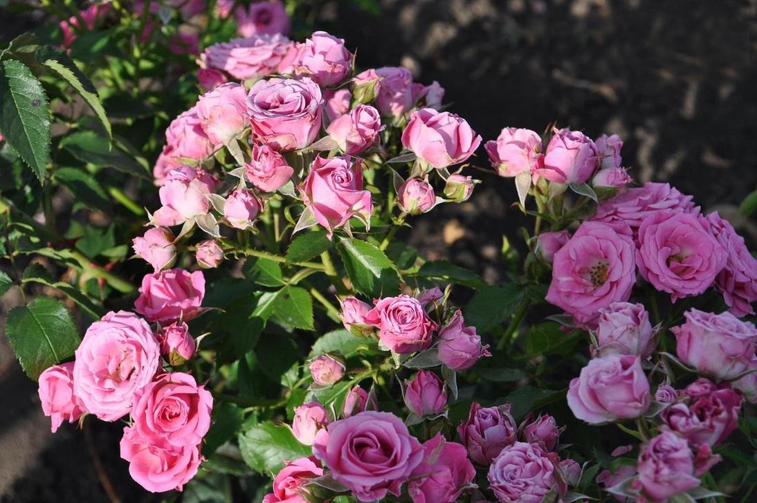 Выращивание розы спрей – посадка и уход: полив и подкормка розы спрей в саду | мир садоводства