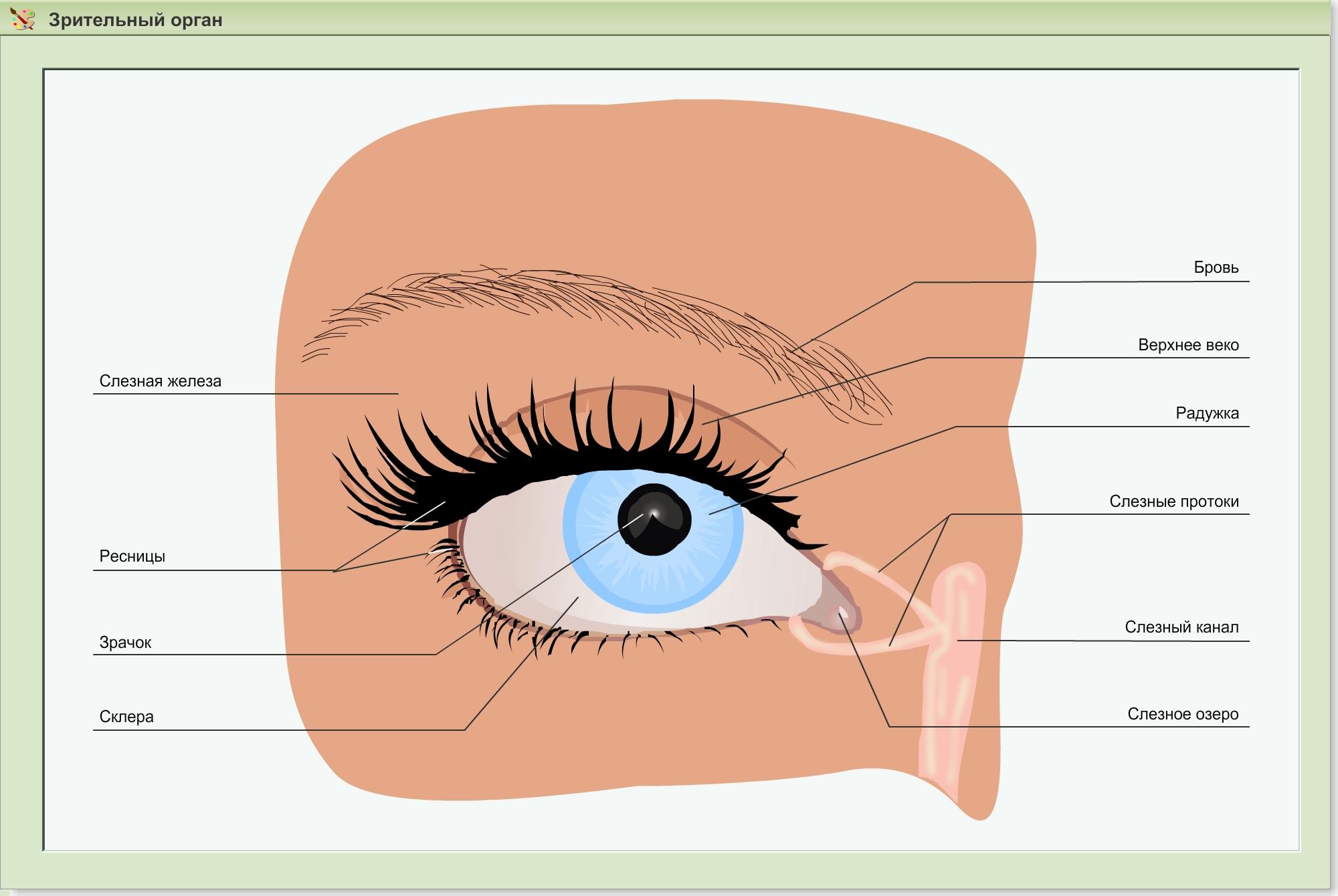 Строение глаза человека: структура, анатомия