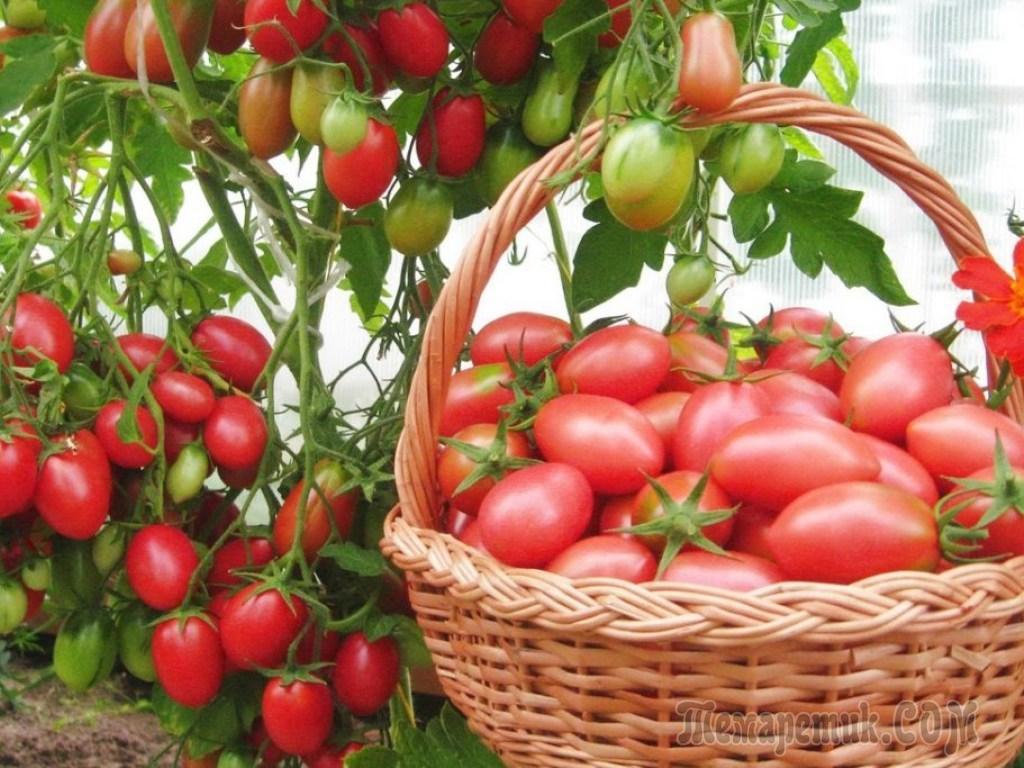 Как использовать карбамид для помидоров: дозировки, время внесения удобрения