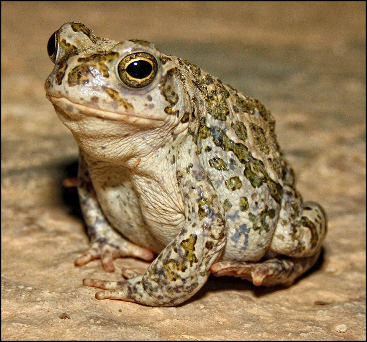 Что и как - интересное о жабах