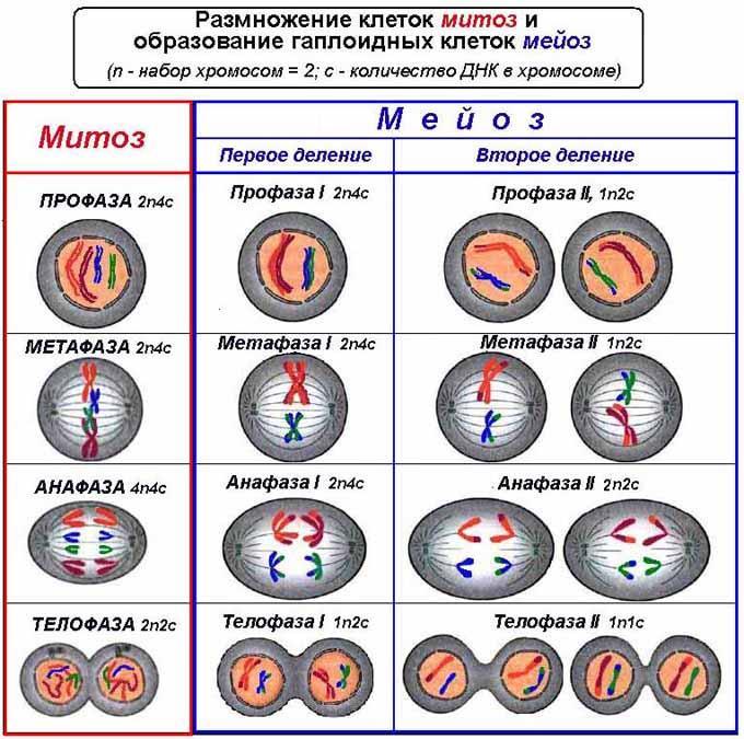 """""""фазы митоза"""" таблица – интерфаза, профаза и анафаза, кратко"""