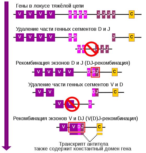 Типы и механизмы генетической рекомбинации